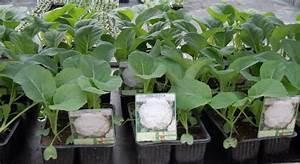 Planter Des Choux Fleurs : potager serres de raujolles ~ Melissatoandfro.com Idées de Décoration