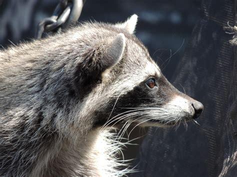 raccoon info photo