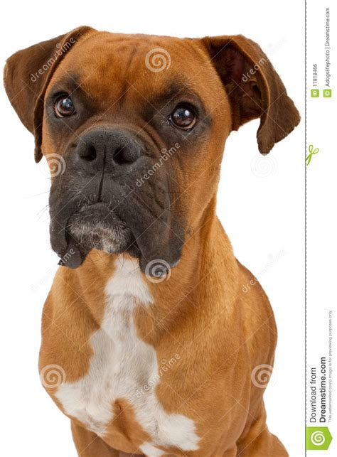 boxer dog closeup royalty  stock image image