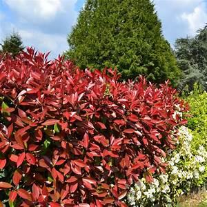 Comment Tailler Une Haie De Laurier : photinia 39 red robin 39 plantes et jardins ~ Melissatoandfro.com Idées de Décoration