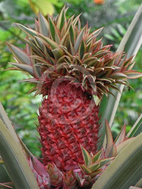 ananas bracteatus tricolor variegated red pineapple
