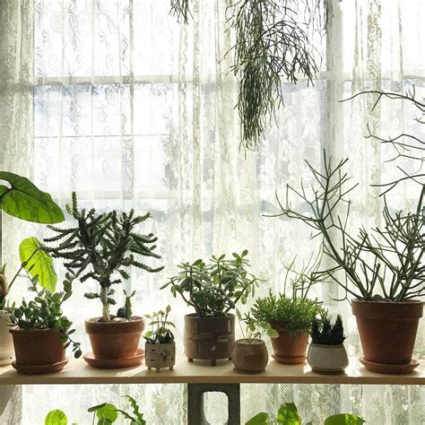 Bedroom Inspiration Plants by Chlorophytum Comosum Spider Plant Grower S Choice