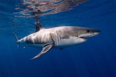 Ramsey Nursery Nj by Deathmatch 1 Great White Shark Vs 30 Unarmed Navy Seals