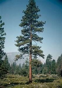 Ponderosa Pine Trees Being Threatened In Black Hills ...