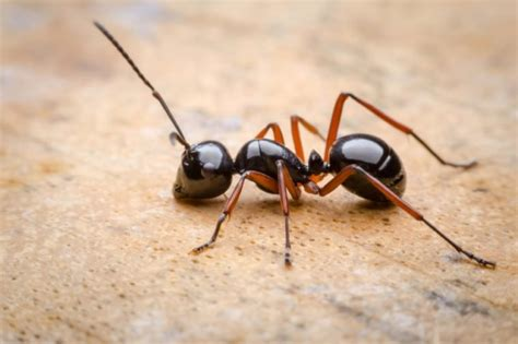 natural ant killers  ant control tips   rid