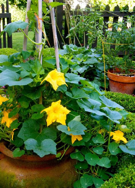 Growing Pumpkins In Containers  How To Grow Pumpkins In