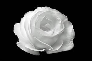 White Rose On The Black Background Free Stock Photo ...