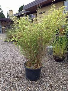 Bambus Pflege Zimmerpflanze : bambus gardening pinterest bambus ~ Michelbontemps.com Haus und Dekorationen