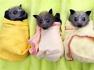 300 Orphaned Baby Bats in Australia
