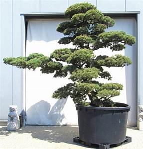 wwwjapangartende der gartenbonsai shop produkte With französischer balkon mit garten bonsai winterhart