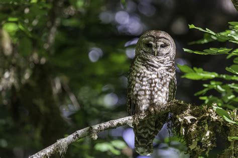 win win  spotted owls  forest management uc davis