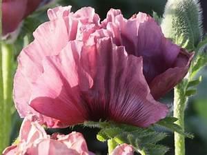 Garten Mohn Sorten : orientalischer mohn 39 patty 39 s plum 39 papaver orientale ~ Michelbontemps.com Haus und Dekorationen