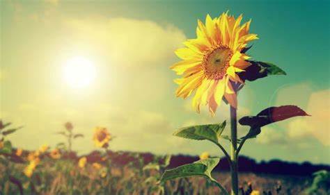 sunflower weather sun sunflowers summer flower sonnenblume solar energy sunny forecast sunshine heart weekend sonne bild myhomebook storm could garden