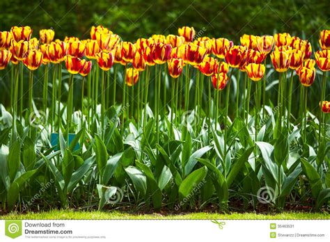 tulip flower garden free stock tulip flowers garden in spring background or pattern stock image image 35463531