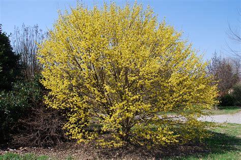 plant   month  january  japanese cornel dogwood