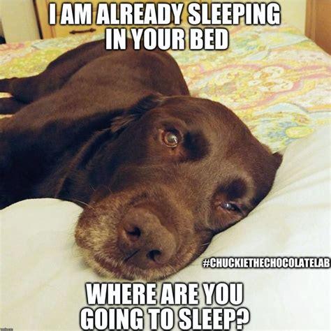 Labrador Meme - chuckie the chocolate lab chuckie the chocolate lab pinterest labs chocolate and dog