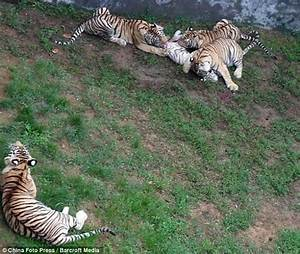 Zoo Tigers Kill Cub - Animal vs Animal