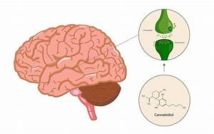 The Endocannabinoid System  How It Works