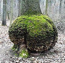 Wucherungen An Pflanzen : baumkrebs wikipedia ~ Buech-reservation.com Haus und Dekorationen