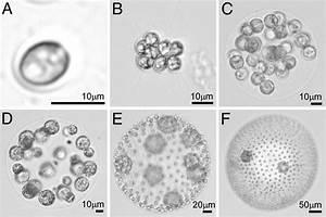 Structure And Reproduction In Volvox  Green Algae