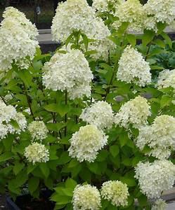 Hydrangea Paniculata Schneiden : rispenhortensie 39 limelight 39 ~ Lizthompson.info Haus und Dekorationen