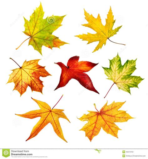 different maple tree leaves set of colorful isolated autumn leaves stock image image 45273753