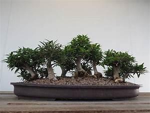 Pflege Bonsai Baum Indoor : die besten bonsai f r einsteiger tipps zu pflege standort ~ Michelbontemps.com Haus und Dekorationen