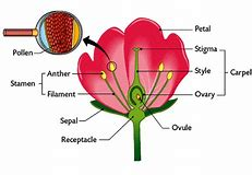 Images for flower reproductive system diagram hd wallpapers flower reproductive system diagram ccuart Images