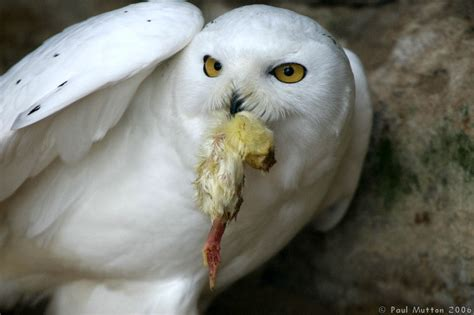 what do owls eat what snowy owls eat www pixshark com images galleries with a bite
