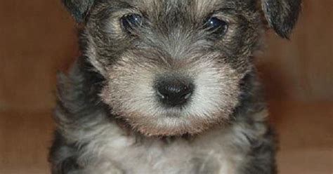 Schnauzer Maltese Mix Puppies For Sale Zoe Fans Blog Cute Baby Animals Pinterest Maltese