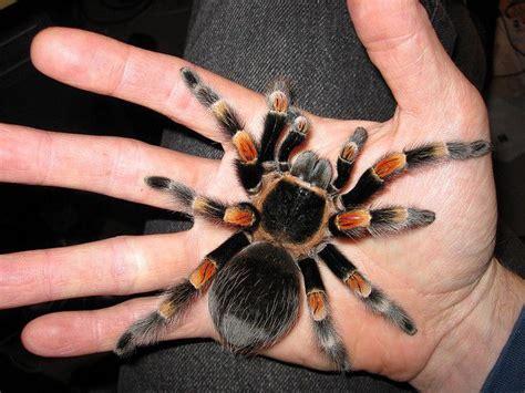 mexican red knee tarantula google search pets