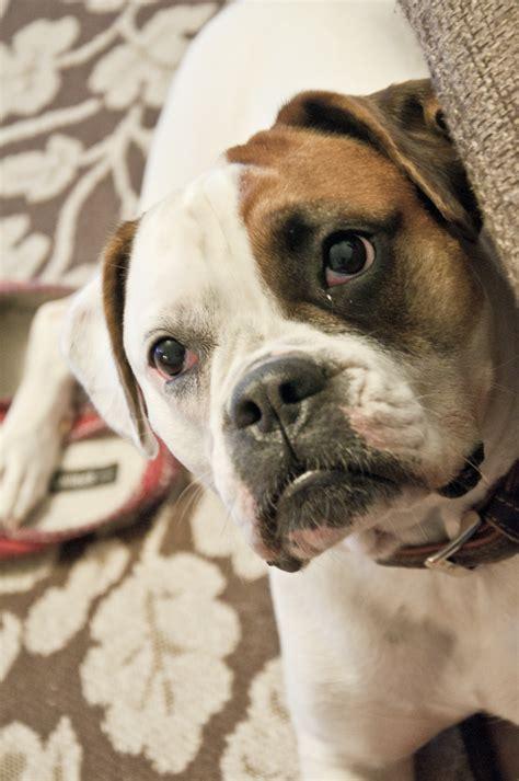 biene deutscher boxer franzoesische bulldogge