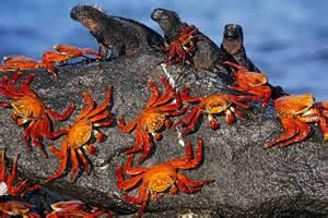 Sally Lightfoot Crab Galapagos Iguana