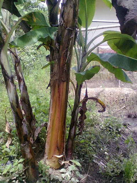 sembuhkan batu ginjal  diabetes  batang pisang tobasatucom