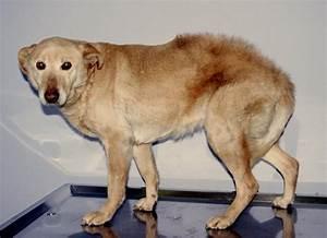 Puce De Chien : les puces des chiens et chats nouveaux traitements ~ Melissatoandfro.com Idées de Décoration
