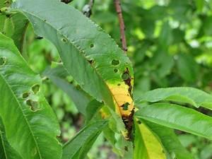 Maladie Pecher Photo : le coryneum maladie de la criblure traitement bio ~ Dode.kayakingforconservation.com Idées de Décoration