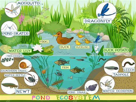 Ecosystem Of Duck Pond Stock Vector Mariaflaya 88280580