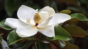 Fleur De Magnolia : magnolia fiche jardinage ~ Melissatoandfro.com Idées de Décoration