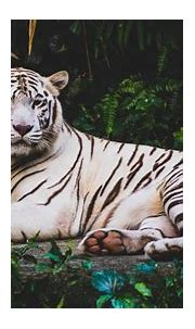 White Tiger HD 4K Wallpapers | HD Wallpapers | ID #21221