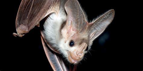 ghost bat adelaide zoo