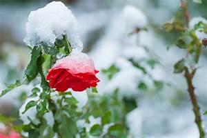 Rosen Schneiden Zeitpunkt : rosen schneiden im winter keine gute idee ~ Frokenaadalensverden.com Haus und Dekorationen