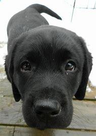 Cute Black Lab Puppy
