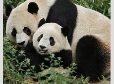 A panda bear with its mother