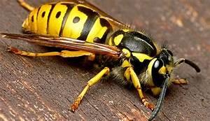 Wespen Im Haus : wespen entfernen ~ Lizthompson.info Haus und Dekorationen