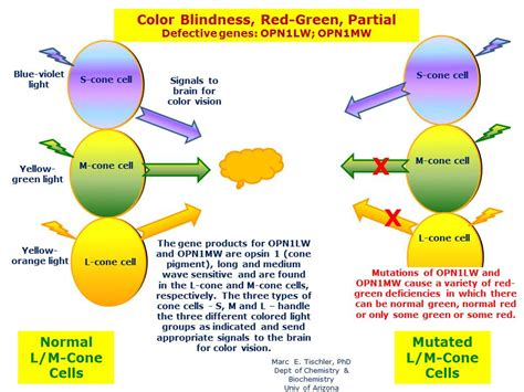 color blindness definition color blindness green partial hereditary ocular
