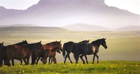 horses caucasus horse asia ekaterina druz russian central mountains equine artists wave karachai herd
