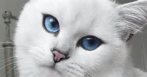 white cat with blue beautiful blue cats wallpapers hd for desktop hd