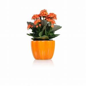 Blühende Zimmerpflanzen Pflegeleicht : zimmerpflanzen g nstig online kaufen mein sch ner garten ~ Michelbontemps.com Haus und Dekorationen