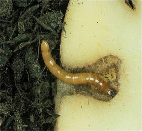 Škůdci cibule