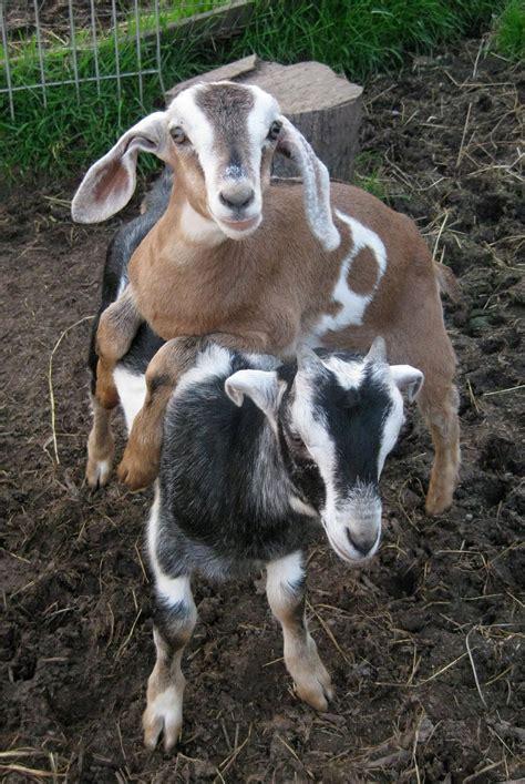 solar living urban homesteading   raise backyard goats
